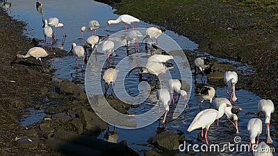 Afrikansk spoonbill och heliga ibises formiding arkivfilmer