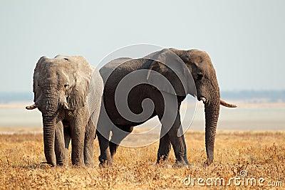 Afrikanska elefanter på öppna slättar