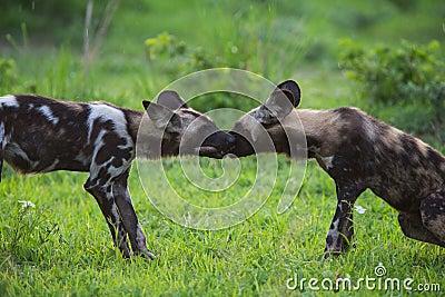 Afrikanska Wild förföljer
