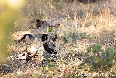 Afrykańscy Dzicy psy