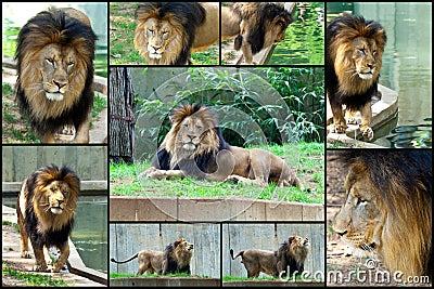 Afrykański kolażu lwa set