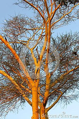 Afrykańskie fauny