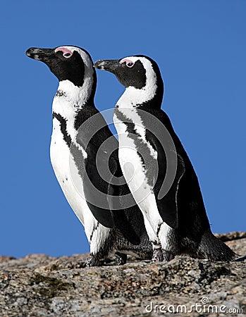 Afrykańscy pingwiny