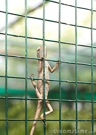 Free Agama Lizard Stock Image - 20556841