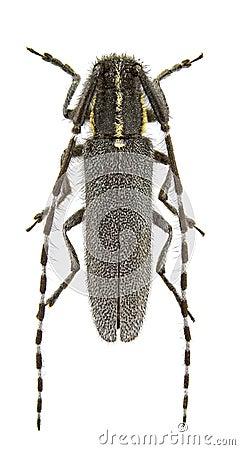 Agapanthia maculicornis