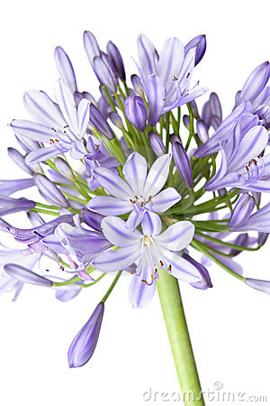Agapanthus - African Lily