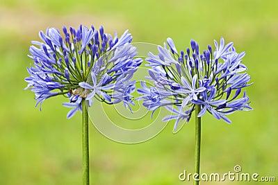 Agapanthus Lilies
