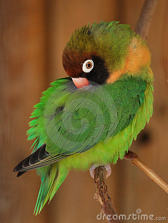 小agapornis绿色爱情鸟的鹦鹉