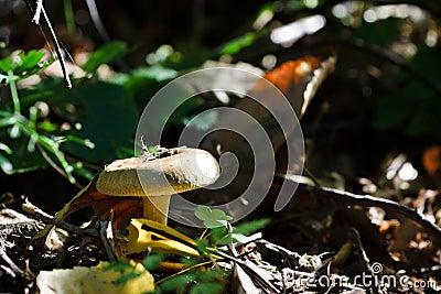Agaricus involutus mushroom