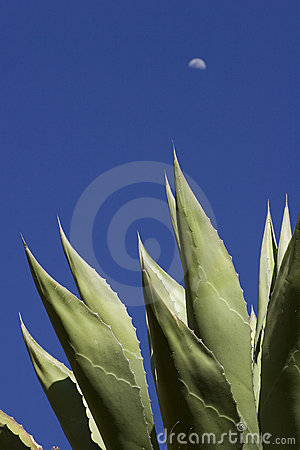 Free Agave Stock Photo - 12030990