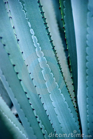 Free Agave Stock Images - 13025914