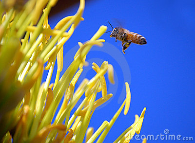 Agave and Bee
