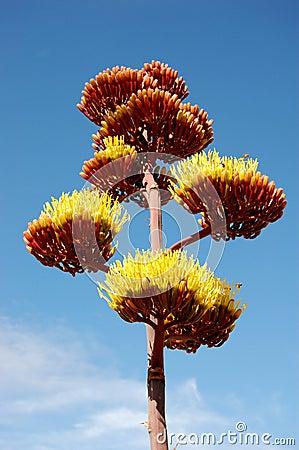 Agave Cactus #2