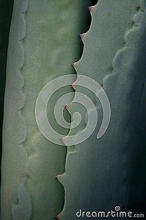 Agave (Franziosinii) Plant