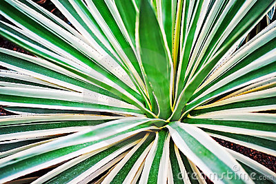 Agave leaves as background