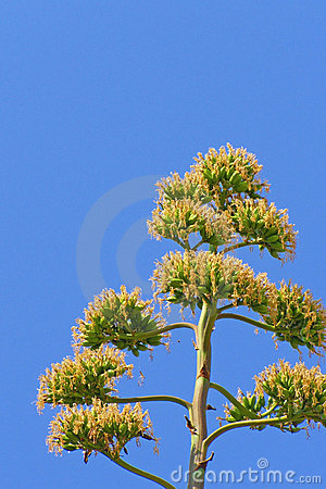 Agave plant blooming