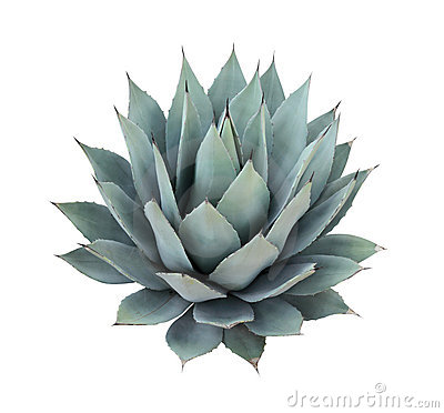 Free Agave Plant Isolated On White Background Royalty Free Stock Images - 22240589