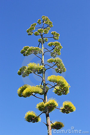 Agave s flowers green and yellow