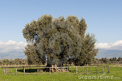 Age-old olive tree in Sardinia