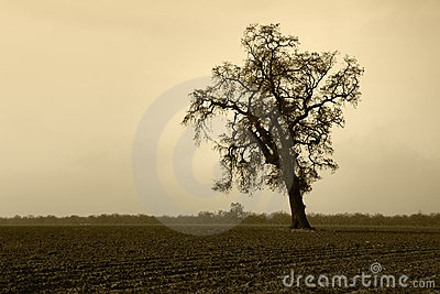 Aged Bare Oak Tree in Winter Fog