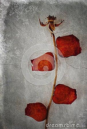 Aged Rose