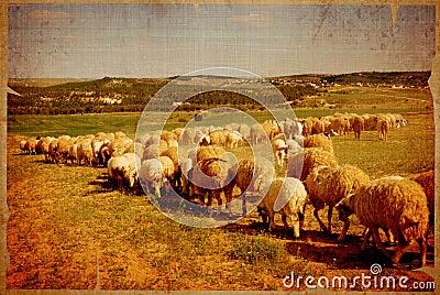 Aged sheep