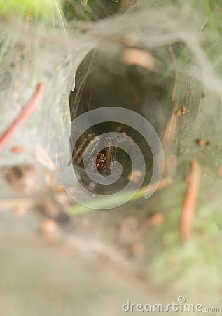 Agelena labyrinthica - male