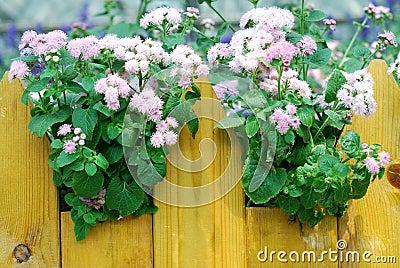 Ageratum pink flowers