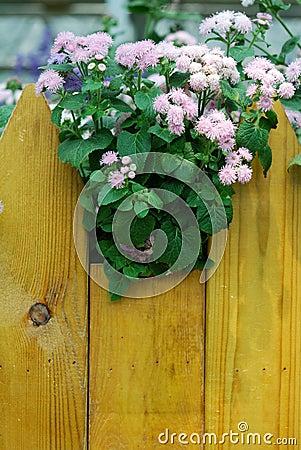 Ageratum roze bloemen