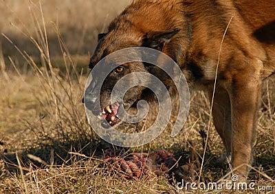 Aggressive belgian shepherd