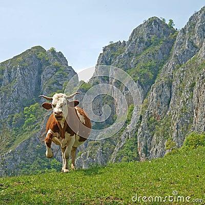 Aggressive cow