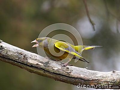Aggressive green-finch male