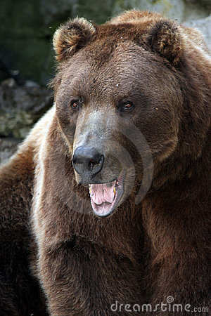 Aggressive Grizzly