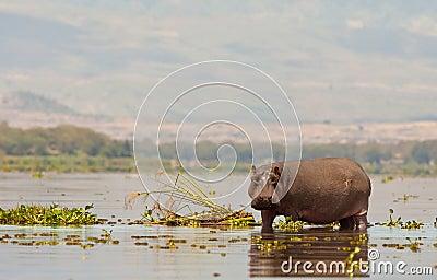 An aggressive Hippopotamus