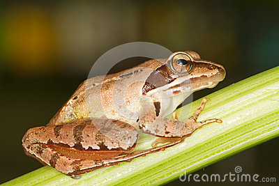 Agile Frog  close-up - Rana dalma