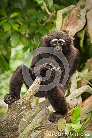 Free Agile Gibbon Royalty Free Stock Photography - 12675457