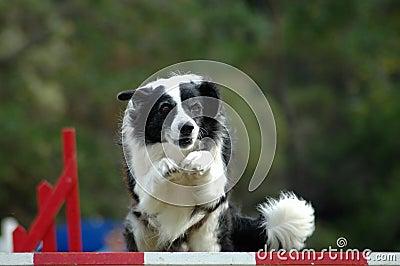 Agility dog jumping