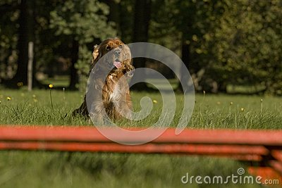 Agility - Dog Skill Competition. Royalty Free Stock Images - Image: 25190379