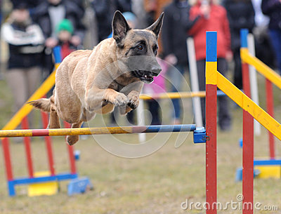 Agility - Dog skill competition