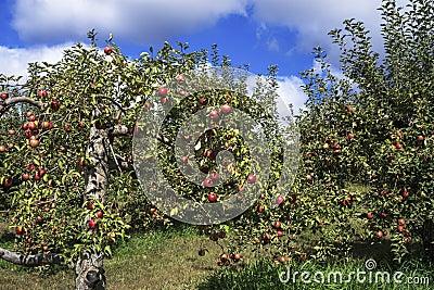 Aging apple tree
