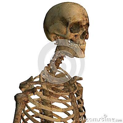 Aging human skeleton