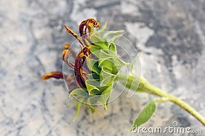 Aging Sunflower