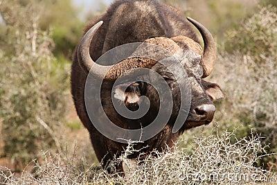 Agitated African Buffalo