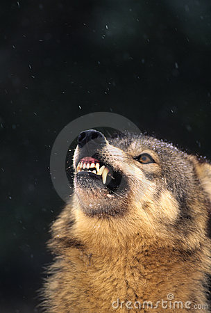 Agitated Gray Wolf