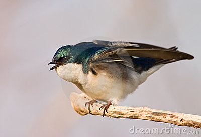 Agitated Tree Swallow