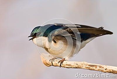Agitated Tree Swallow