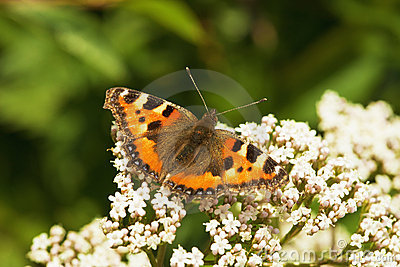 Aglais urticae - butterfly