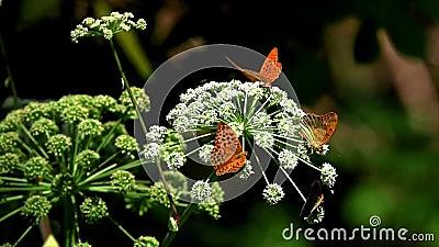 Aglaja da espécie da borboleta, vídeos de arquivo