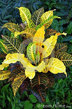 Aglaonema Plant,