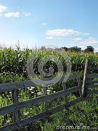 Agosto Corn-1180
